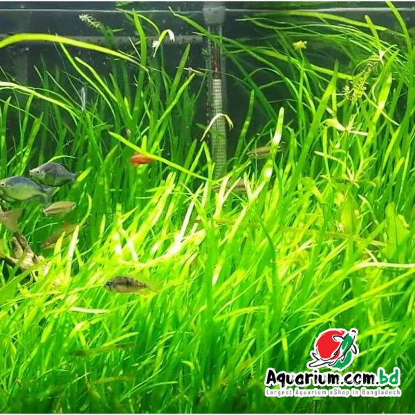 Jungle Val- Live Aquatic Plant