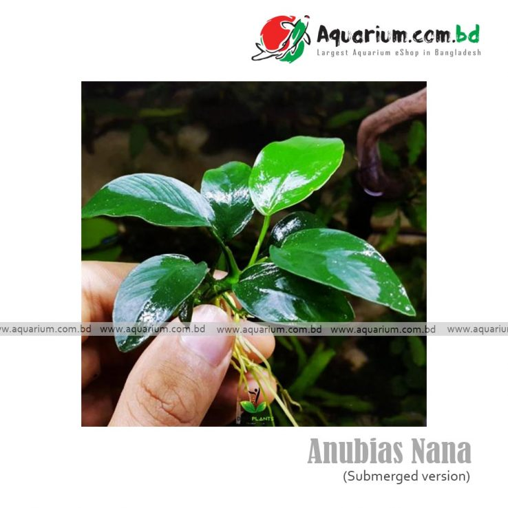 anubias nana available at aquarium.com.bd