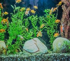 Put-too-many-fish-in-the-aquarium-mistakes-of-beginners-make-with-goldfish