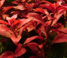 normal_ludwigia_repens
